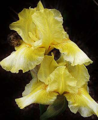 Photograph - Yellow Splendor by Bruce Bley
