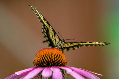 Photograph - Yellow Swallowtail by Pete Federico