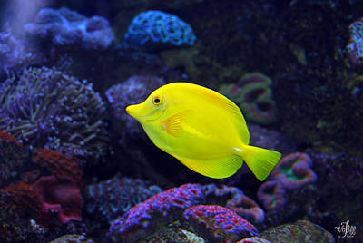 Sea Anenome Photograph - Yellow Tang by Thea Wolff