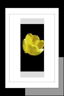 Installation Art Photograph - Yellow Tulip 1 Of 3 by Tina M Wenger
