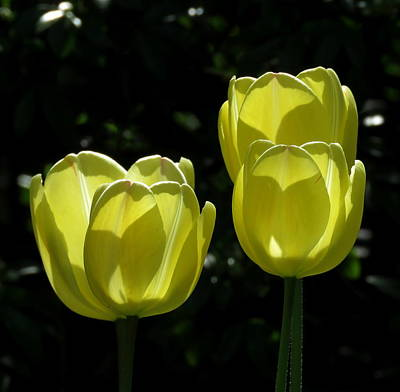 Photograph - Yellow Tulips by John Topman
