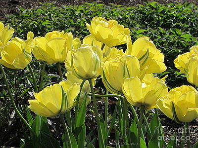 Photograph - Yellow Tulips by Kathie Chicoine