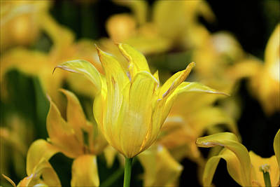 Wild And Wacky Portraits Rights Managed Images - Yellow Tulips Royalty-Free Image by Robert Ullmann