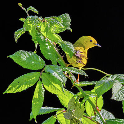 Photograph - Yellow Warbler by Bill Wakeley