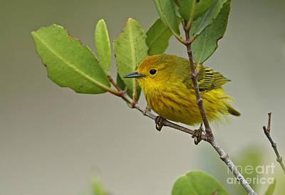 Yellow Warbler In Cuba Art Print