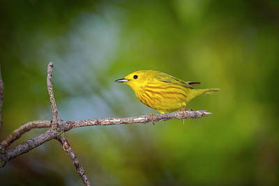 Water Droplets Sharon Johnstone - Yellow Warbler - Magee Marsh, Ohio by Jack R Perry
