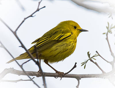 Photograph - Yellow Warbler by Ronald Grogan