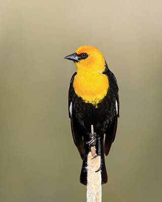 Photograph - Yellowheaded Blackbird by Jack Bell