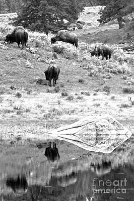 Photograph - Yellowstone Bison Reflection Portrait by Adam Jewell