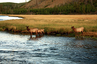Photograph - Yellowstone Elk Cross The Madison River by Aidan Moran