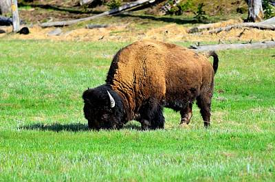 Bison Digital Art - Yellowstone  by James Boone