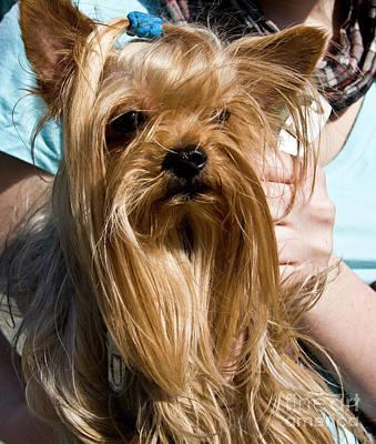 Photograph - Yorkshire Terrier by Irina Afonskaya