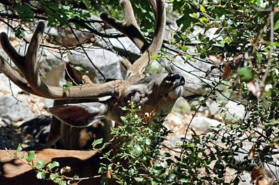 Antlers Photograph - Yosemite Mule Deer Buck  by LeeAnn McLaneGoetz McLaneGoetzStudioLLCcom