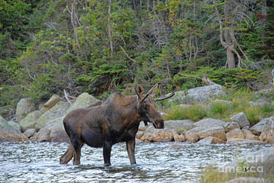 Photograph - Young Bull Moose by Alana Ranney
