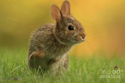 Photograph - Young Cotton-tail Rabbit by J McCombie