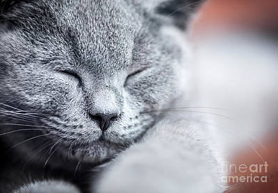 Pet Photograph - Young Cute Cat Portrait Close-up. The British Shorthair Kitten With Blue Gray Fur by Michal Bednarek