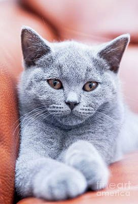 Domestic Photograph - Young Cute Cat Resting On Leather Sofa. The British Shorthair Kitten With Blue Gray Fur by Michal Bednarek