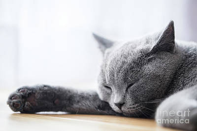 Resting Photograph - Young Cute Cat Sleeping On Wooden Floor. The British Shorthair by Michal Bednarek