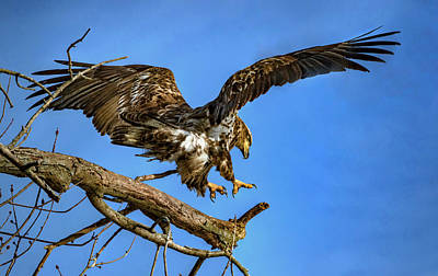 Photograph - Young Eagle by Ray Congrove