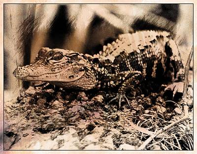 Photograph - Young Gator 1 by Sheri McLeroy