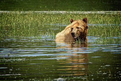 Photograph - Young Grizzly  by Inge Riis McDonald
