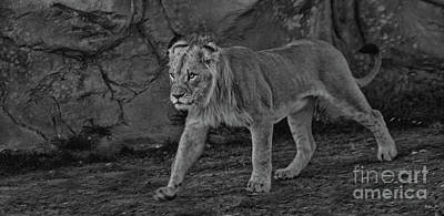 Photograph - Young Lion 1 by Steven Parker