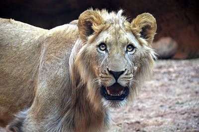 Photograph - Young Male Lion by Ronda Ryan