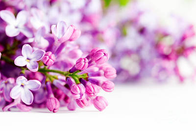 Purple Photograph - Young Spring Lilac Flowers Blooming by Michal Bednarek