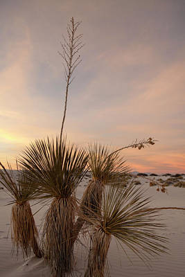 Photograph - Yucca At Sunset by Liza Eckardt