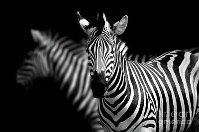 Photograph - Zebra by Charuhas Images