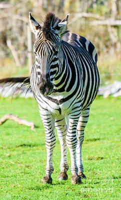 Photograph - Zebra by Colin Rayner