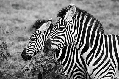 Photograph - Zebra by Daria Klepikova