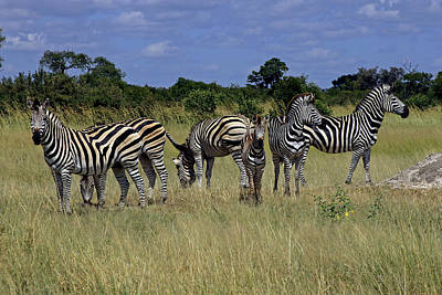 Photograph - Zebra Group by Tony Murtagh