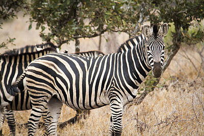 Zebra In Savanna In Color Art Print