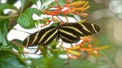 Photograph - Zebra Longwing On Firebush Flower by Carol Bradley