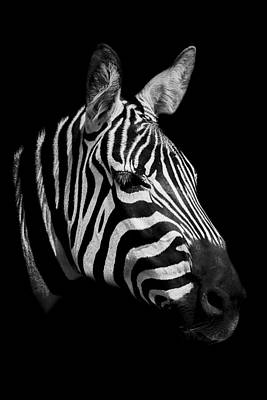 Zebra Art Print by Paul Neville