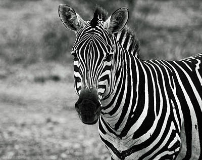 Photograph - Zebra Portrait by Sally Weigand