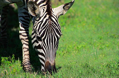 Endangered Species Photograph - Zebra by Sebastian Musial