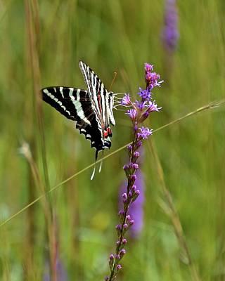Photograph - Zebra Swallowtail by Carol Bradley