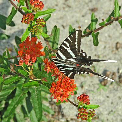 Art Print featuring the photograph Zebra Swallowtail by Peg Urban