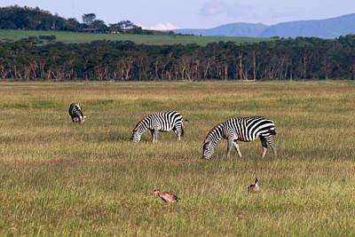 Zebras - Zebres Art Print