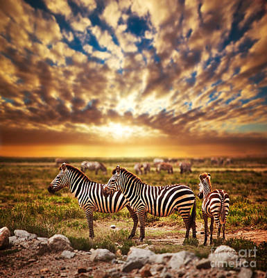 Zebras Herd On African Savanna At Sunset. Art Print