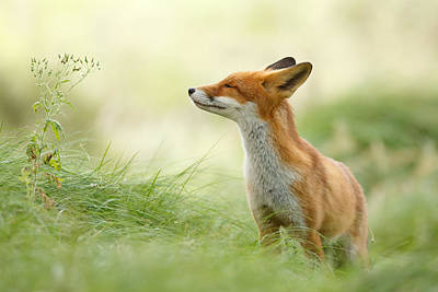Smiling Photograph - Zen Fox Series - Zen Fox by Roeselien Raimond