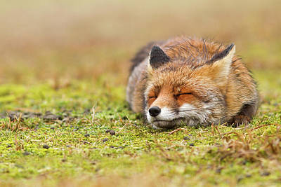 Mindfulness Photograph - Zen Fox Series - Happy Fox Is Happy II by Roeselien Raimond