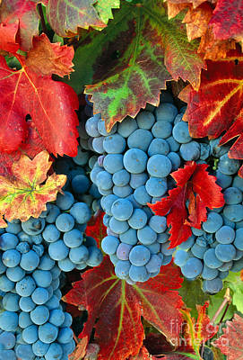 Amador County Photograph - Zinfandel Grapes by Inga Spence