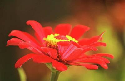 Photograph - Zinnia by Donna G Smith