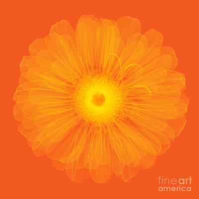 Zinnia Flower, X-ray Art Print