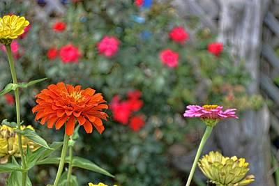 Photograph - Zinnia Garden by JAMART Photography