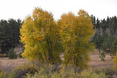 Aspen Trees In The Fall Co Art Print