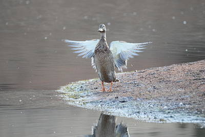 Photograph - Mallard Duck Burgess Res Divide Co by Margarethe Binkley